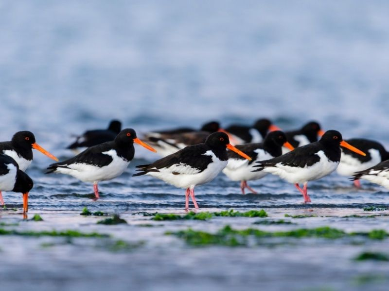 Oystercatchers in Morecambe Bay - The Royal Silverdale