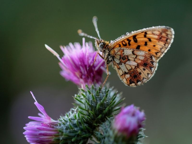pearl-bordered fritillary butterfly - The Royal Silverdale